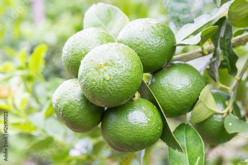 Green lemons hanging on tree