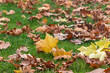 close up of brown and gold fall leaves in grass