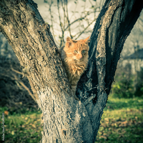 Poster Red domestic tomcat on the tree