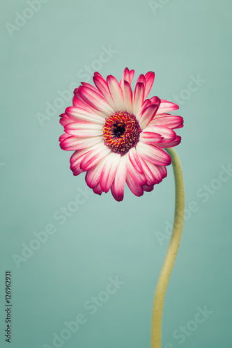 Red gerbera flowers on trendy cool mint background