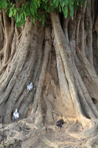 Fotobehang Baobab Poules sur un baobab. Togo.