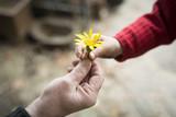 Fototapety 黄色い花を手渡すお婆ちゃんと孫娘の手