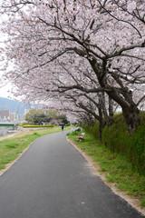 sakura path