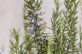 rosmarino fiorito