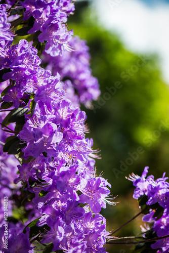 Fotobehang Azalea Springtime in Public English Garden