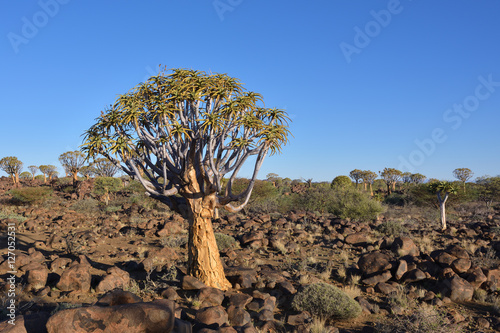 Poster Quiver Tree Forest Namibia