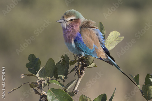 Poster Lilac-breasted Roller