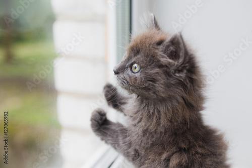Poster, Tablou Grey cat sitting near window