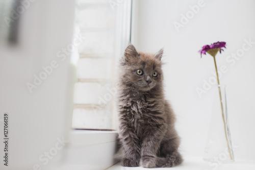 Poster Grey cat sitting near window