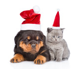 portrait of a scottish kitten and rottweiler puppy in red christmas hats. isolated on white