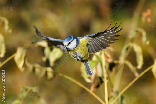 Poster Flying Blue Tit among autumn yellow grasses