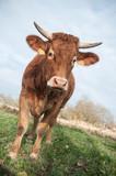 portrait de vache brune en gros plan