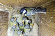 Great Tit (Parus major) in nestbox