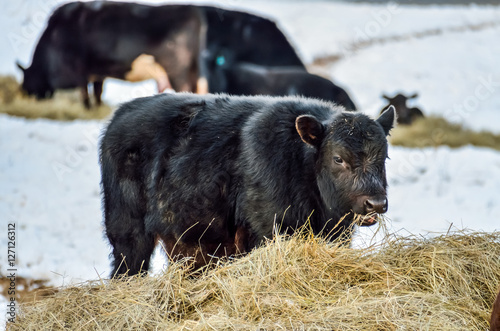 Poster Black cow calf eating hay during winter snow