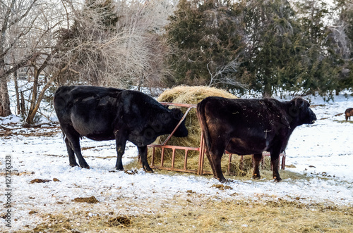 Poster Two black cows eating from hay roll during winter snow