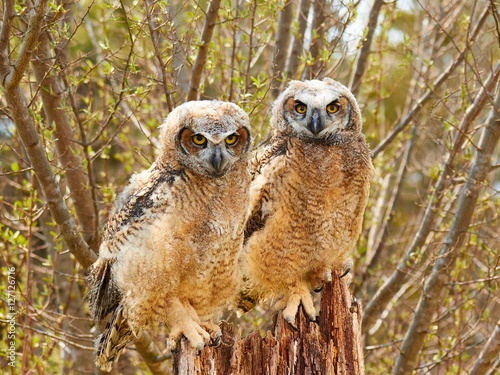 Poster Baby Eagle Owls