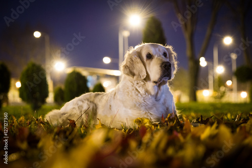 Poster Golden Retriever outdoors in the park at night by the city lights