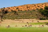 Herde Springböck in der grünen Kalahari während der Regenzeit, Kgalagadi Transfrontier Park, Südafrika