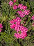 Pink flowers on a garden