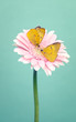 Two yellow  butterflys  on a  pink  flowers on trendy green  bacground