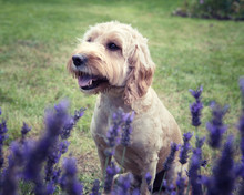 Un chien Cockapoo assis derrière un buisson de lavande qui regarde au loin