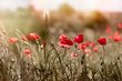 Red poppy flowers in meadow - selective focus on poppy flowers