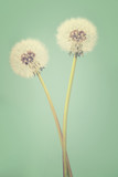 Two dandelions on a light teal background