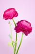 Lovely persian buttercup flowers on pink background