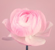 Close up of beautiful soft pink ranunculus flower