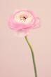 Single beautiful pastel  pink persian buttercup