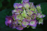 Budding and Blooming White and Purple Hydrangea