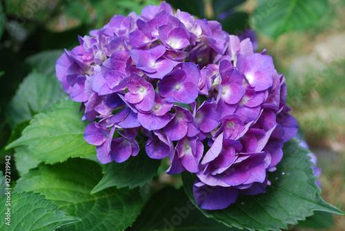 Aluminium Hydrangea Pretty Flowering Purple Hydrangea Blossom