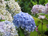 Pastel Hydrangea Flowering Boughs in Bloom