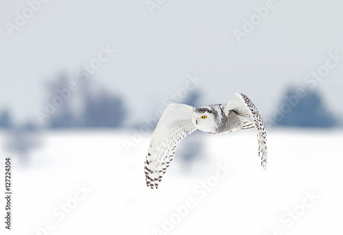Snowy owl (Bubo scandiacus) hunting over a snow covered field - 127224304