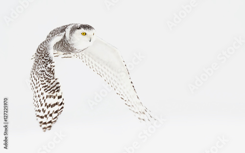 Snowy owl (Bubo scandiacus) hunting over a snow covered field - 127225970