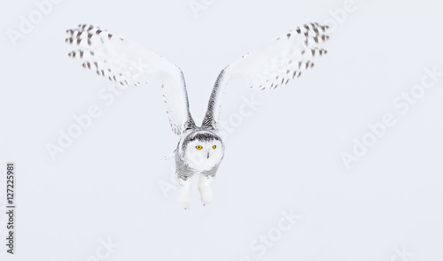 Snowy owl (Bubo scandiacus) hunting over a snow covered field - 127225981