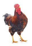 Red cock.