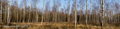 panoramique Forêt de bouleaux en hiver