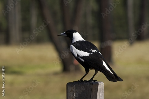 Poster Magpie 2