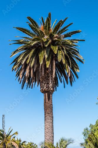 Deurstickers Canarische Eilanden Canary Island date palm (Phoenix canariensis) with blue sky background.