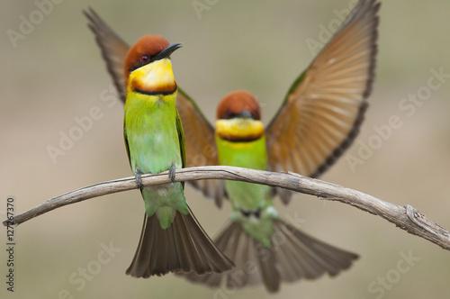 Poster Beautiful Chestnut-headed Bee-eater birds.