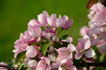 Beautiful blooming pink apple tree in the garden