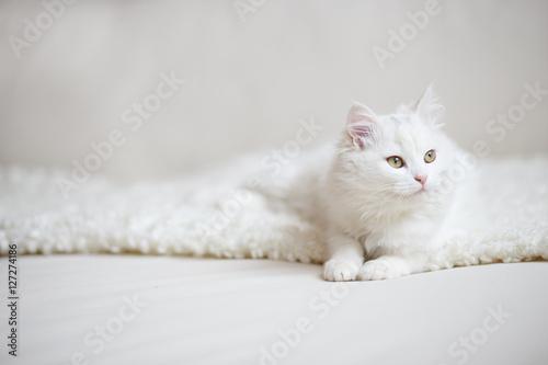 Poster white cat