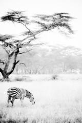 Zebras in the African savannah  © SB