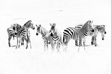 Zebras in the African savannah