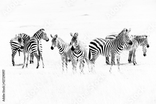 Poster Zebras in the African savannah