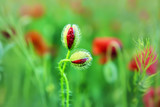 half-open buds of red poppies, the couple are in love. in the background a natural plan poppy field.