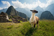 The ancient city of Machu Picchu, Peru. Llama overlooking ruins of the Inca citadel in the Andes Mountains and the river valley below