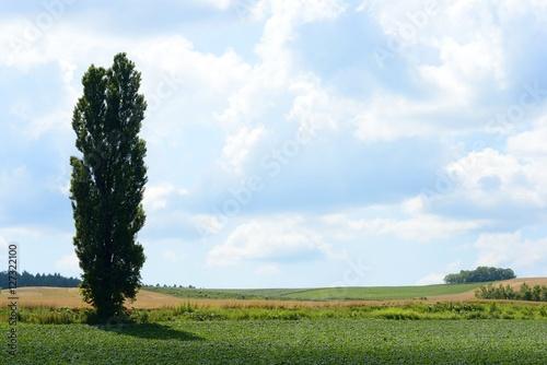 Poster 北海道美瑛のケンとメリーの木