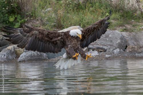 Poster Eagle Landing